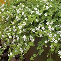 Bacopa Snowtopia White Flower Seeds