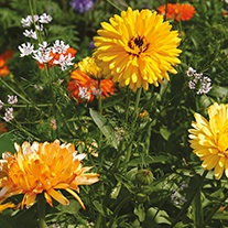Mixed Annuals Anti Aphid Flower Seeds