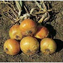 Onion Plants Ailsa Craig Prizewinner