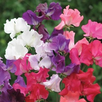Sweet Pea Best of British Flower Seeds