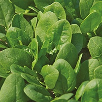 Spinach Trumpet F1 Seeds