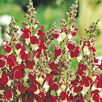 Antirrhinum Night & Day Flower Seeds