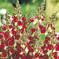 Antirrhinum Night & Day Flower Seeds