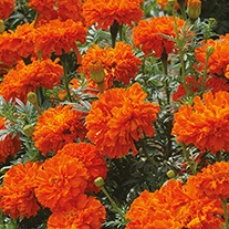 Marigold (African) Kees Orange Flower Seeds