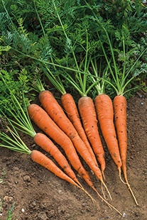 Carrot Danvers Half Long Seeds
