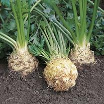 Celeriac Ilona F1 Seeds