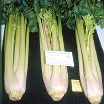 Celery Starburst F1 Seeds