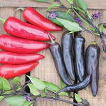 Pepper (Hot) Nosferatu F1 Seeds