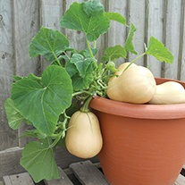 Squash Butternut Butterbush F1 Plants