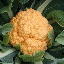 Cauliflower Sunset F1 Seeds