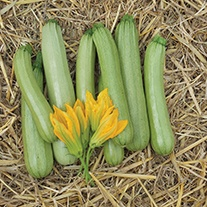 Courgette Alfresco F1 Seeds