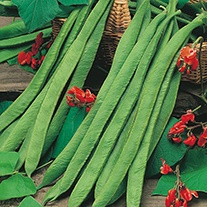 Runner Bean (Red Flowered) Polestar Seeds