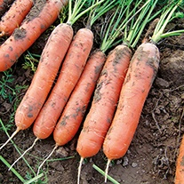 Carrot Marion F1 AGM Seeds