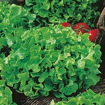 Lettuce Salad Bowl Green AGM Seeds