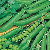 Pea Rondo AGM Plants (Maincrop)