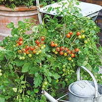Tomato Losetto F1 Seeds