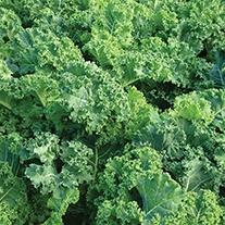 Kale Pentland Brig Seeds
