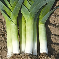 Leek Crusader F1 Seeds