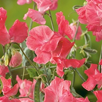 Sweet Pea Leominster Boy Flower Seeds