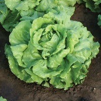 Lettuce Deliane Seeds