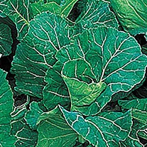 Cabbage Green Antelope F1 Seeds