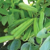 Broad Bean Turbo Seeds