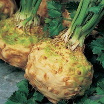 Celeriac Monarch AGM Seeds