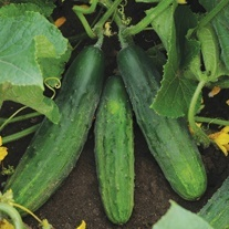 Cucumber Patio Snacker F1 Seeds