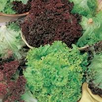 Lettuce Lollo and Lollo Rossa Mixed Seeds