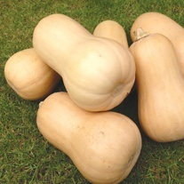 Squash Butternut Walnut F1 9cm Plants