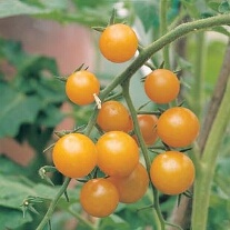 Tomato Sungold F1 AGM (Cherry) Veg Plants