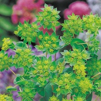 Bupleurum rotundifolium Leprechaun Gold Flower Seeds
