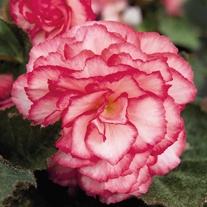 Begonia Nonstop Rose Petticoat F1 Flower Seeds
