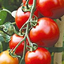 Tomato Nimbus F1 Seeds (Medium)