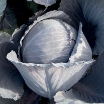 Cabbage Lodero F1 Seeds