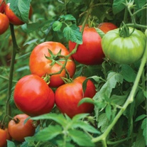 Tomato  Big Daddy F1 Seeds