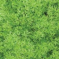 Coriander Confetti AGM Herb Seeds