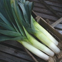 Leek  Below Zero F1 Seeds