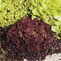 Lettuce Headed Mixed Seeds
