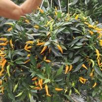 Pepper Sweet Sunshine F1 Seeds
