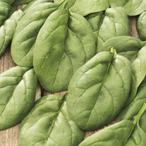 Spinach  Andromeda F1 Seeds