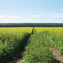 Green Manure Caliente Mustard 199 Seeds