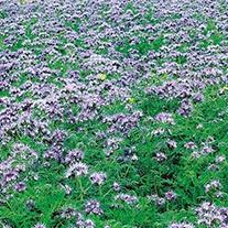 Green Manure Phacelia tenacetifolia  Seeds