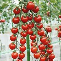 Tomato Suncherry Smile F1 (Cherry) Veg Plants
