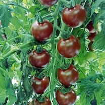 Tomato Sunchocola F1 (Cherry) Veg Plants