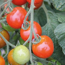 Tomato (Cherry) Moncherry F1 Seeds