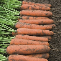 Carrot Norwich F1 Seeds