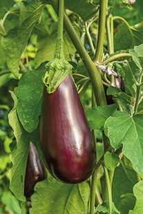 Aubergine Black Beauty Seeds