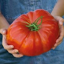 Tomato Gigantomo F1 Veg Seeds