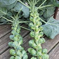 Brussels Sprout Trafalgar F1 Veg Seeds